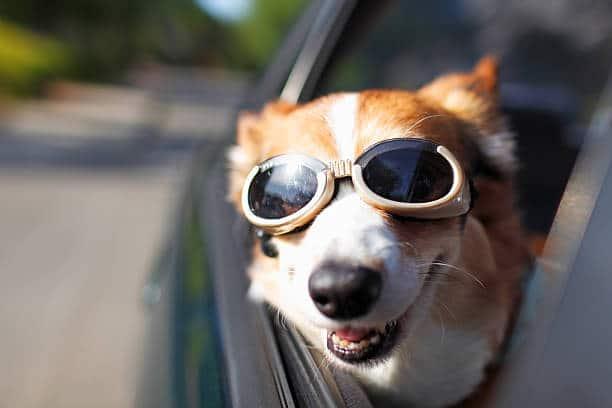 Un chien avec des lunettes de soleil qui sort la tête par la fenêtre de la voiture