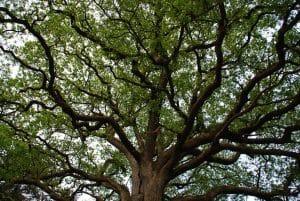 Grand arbre avec longues branches